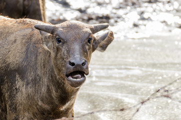 Younger buffalo