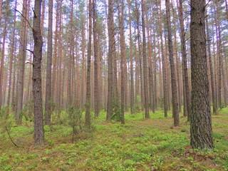 Утро в сосновом лесу. Беларусь