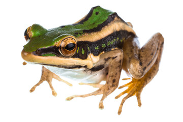 Asian common green frog
