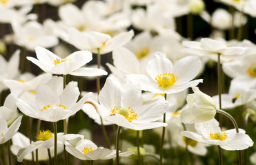 An anemone forest closeup 5