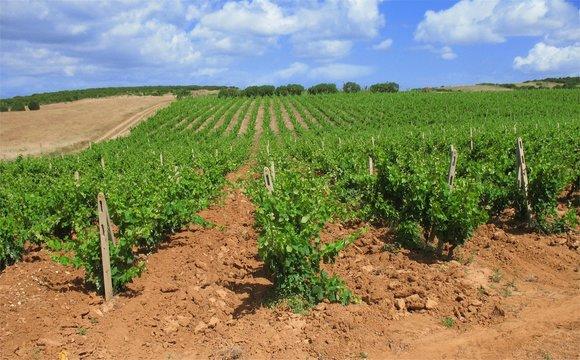 Vigna di Carignano nel sud della Sardegna