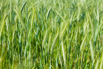 green wheat