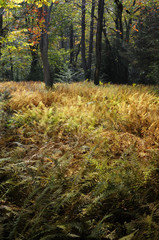 Fototapete - Ferns in Fall Colors