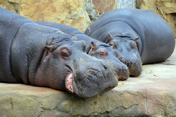 hippos sleep photo