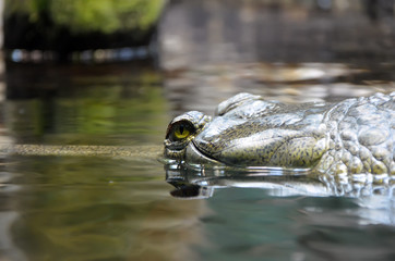 crocodile lurking in water photo
