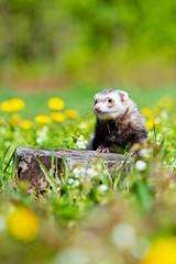 Fototapete - ferret portrait outdoors