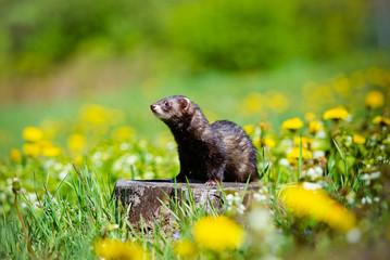 Fototapete - adorable ferret outdoors