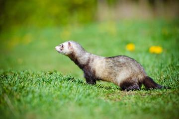 Fototapete - ferret walking outdoors