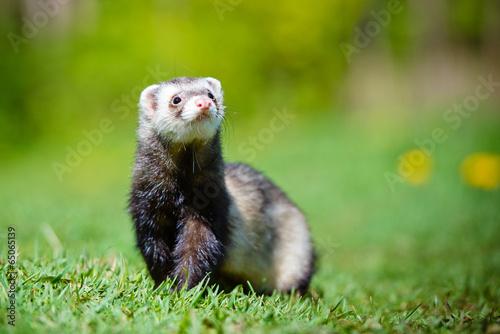Fototapete adorable ferret portrait