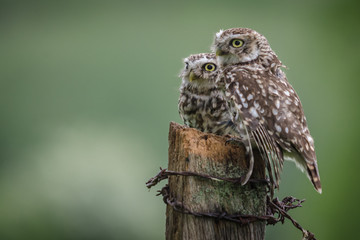 Fotoväggar - UK wild Little Owls