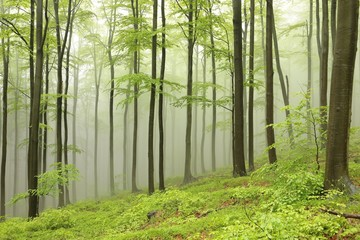 Garden Poster Forest Beech trees surrounded by fog on a rainy spring day