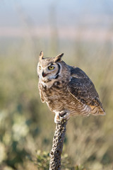 Great-horned Owl Sitting on a Cactus