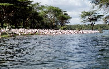Lesser Flamingos on the bank of Lake Naivasha