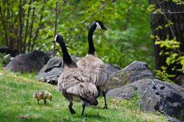 Gosling Walking with Mom and Dad