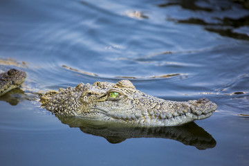Door stickers Crocodile Aggressives, aber schönes Krokodil