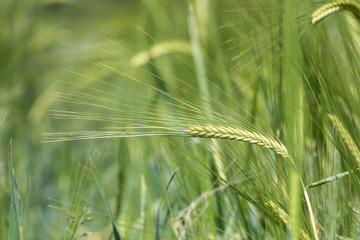 junge Gerste auf dem Feld in der Landwirtschaft