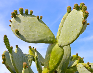 Prickly pear cactus, one with a bud, in the sunlight.