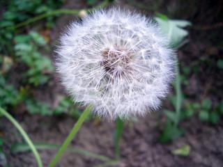 Pusteblume auf der Wiese
