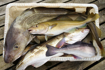Fresh Cod Fish in boat container