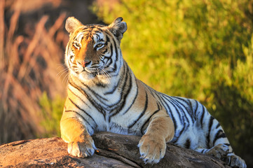 Photo sur Toile Tigre Portrait of a tiger