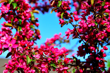 the branches of flowering pink fruit tree