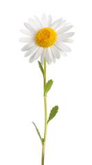 Wall Mural - White daisy