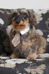 Cute dachshund with tie