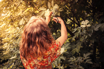 Young  woman cutting elderflower with scissors
