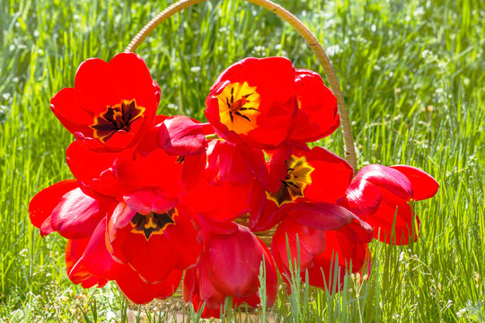 Bouquet of red tulips in a basket, backlit