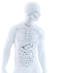Human anatomy. Isolated, contains clipping path