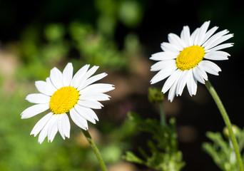 Two daisies closeup