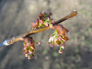Spring. Elm twig with melting catkins