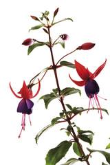 Fuchsia , close-up