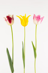 yellow pink and red tulips