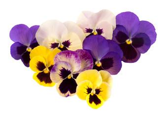 Spring garden flowers - pansies aka violas. Purple yellow