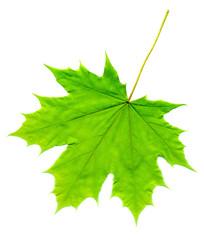 Green Maple Leaf