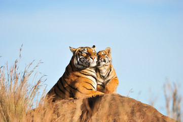 An affectionate moment between a Bengal Tiger and her cub
