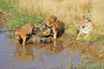 Tiger mother with her cubs