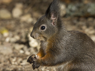 Nice squirrel with brown fur
