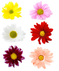 Collage of chrysanthemums flowers isolated on white