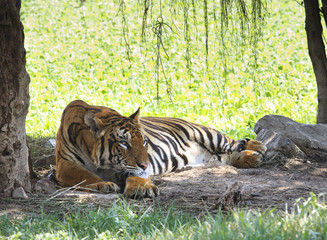 tiger lying in field