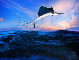 sailfish flying over blue sea ocean