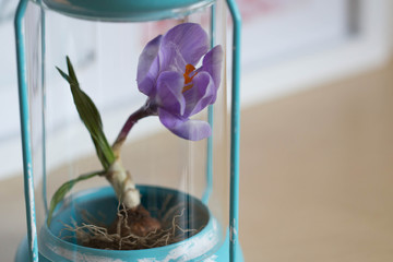 violett crocus