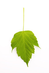 A new spring Maple leaf isolated on a white background