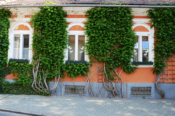 Curling  tree on the facade of country house