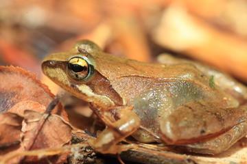 Tago's Brown Frog (Rana tagoi  tagoi) in Japan