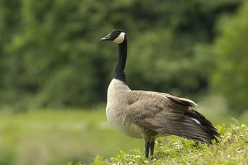 Elegant Canada Goose