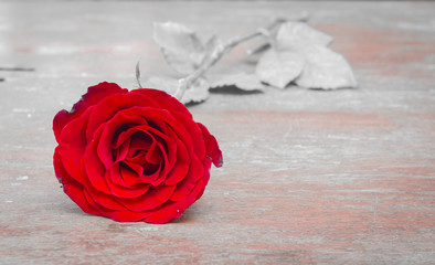 Scarlet roses on a white background monotone. For Valentine's Festival