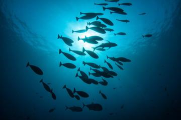 Schooling Fish 1