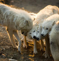 Pack of white arctic wolves playing together